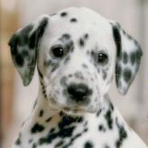 nintendogs: dalmatians & friends game
